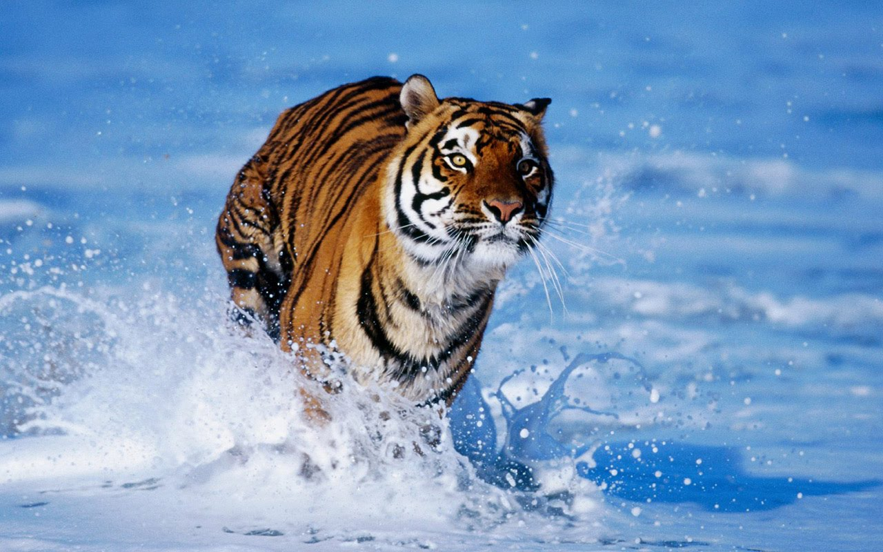 37-hd-wallpapers-tiger-in-see-water