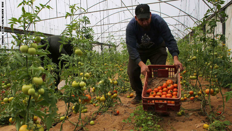 A Palestinian labourer picks tomatoes at a farm in Rafah in the southern Gaza Strip on March 12, 2015. Gaza merchant, Ibrahim al-Astal, told AFP that four truckloads of Gaza tomatoes and eggplants would be exported from the Gaza Strip into Israel. AFP PHOTO/ SAID KHATIB        (Photo credit should read SAID KHATIB/AFP/Getty Images)